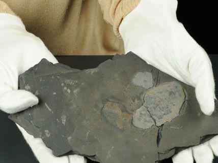 Das NHM zeigt die ältesten Fossilien vielzelligen Lebens.
