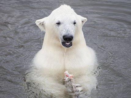 Eisbärenmännchen Ranzo wird bald übersiedeln.