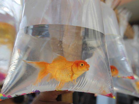Während eines Trinkspiels verschluckte ein 22-jähriger Brite einen Goldfisch.