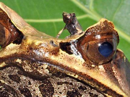 Unter anderem gab es bei den Zipfelkrötenfröschen Nachwunchs.