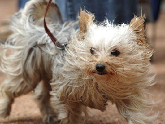 Der kleine Hund fraß sein Frauchen und überlebte dadurch selbst. (Symbolbild)