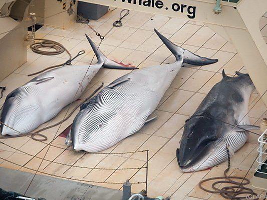 Greenpeace-Beweisfoto eines Walfängers