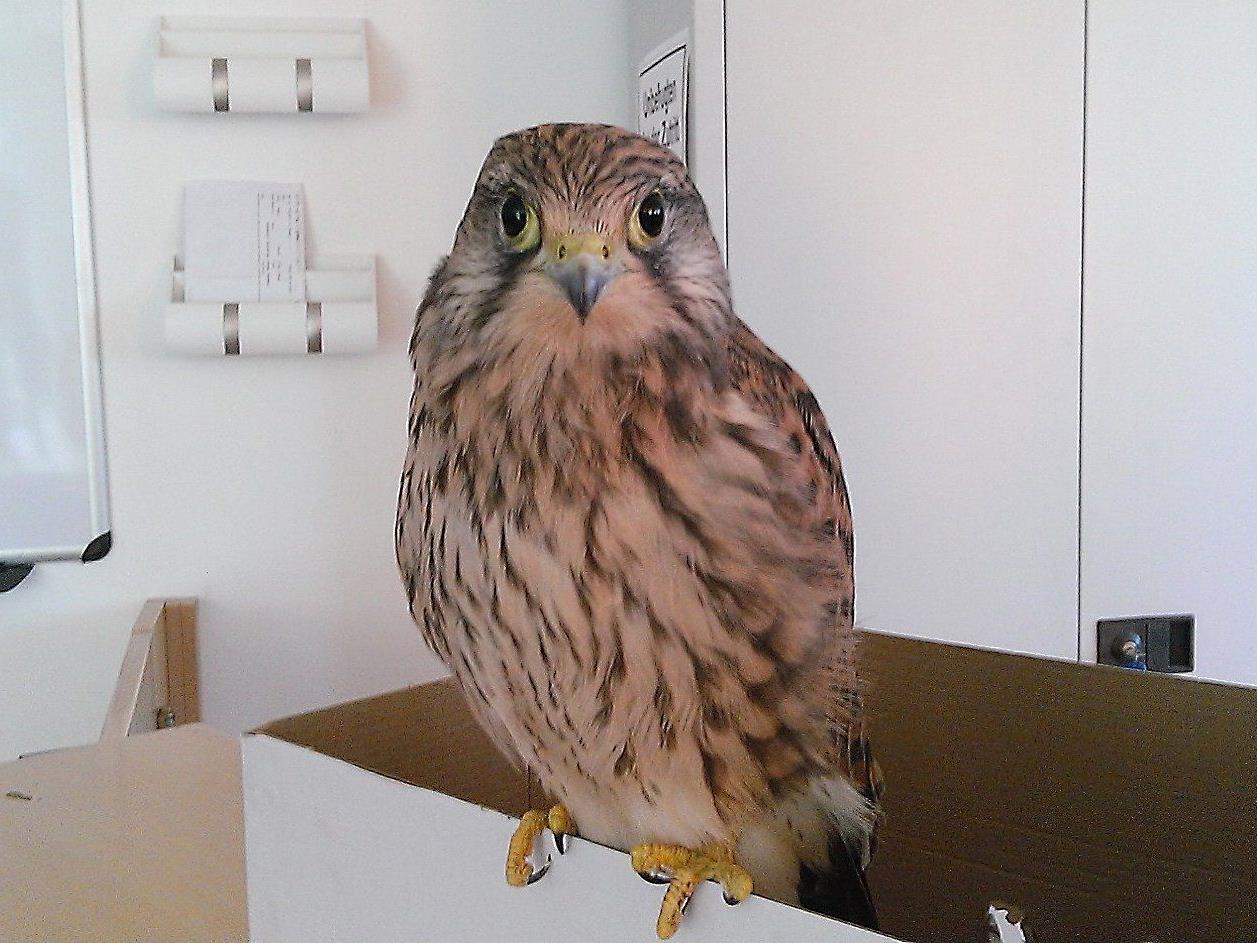 In Wien wurden am Freitag drei Falken gerettet.