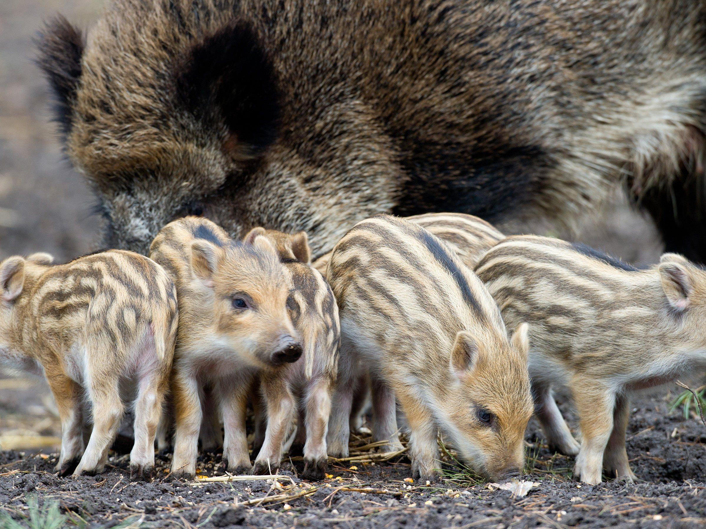 Vier Jugendliche quälten im Lainzer Tiergarten Wildschweinfrischlinge und töteten ein Ferkel.