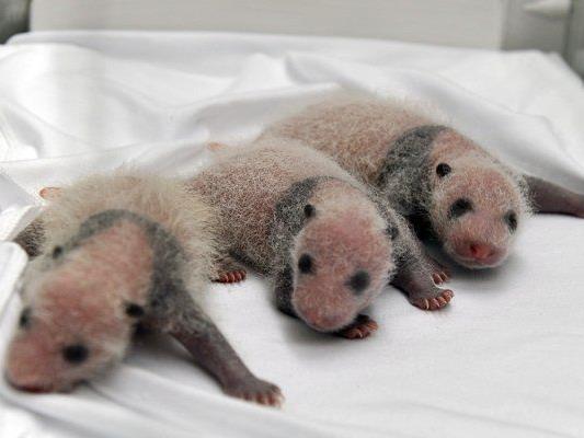 Die drei Pandas aus dem chinesischen Zoo