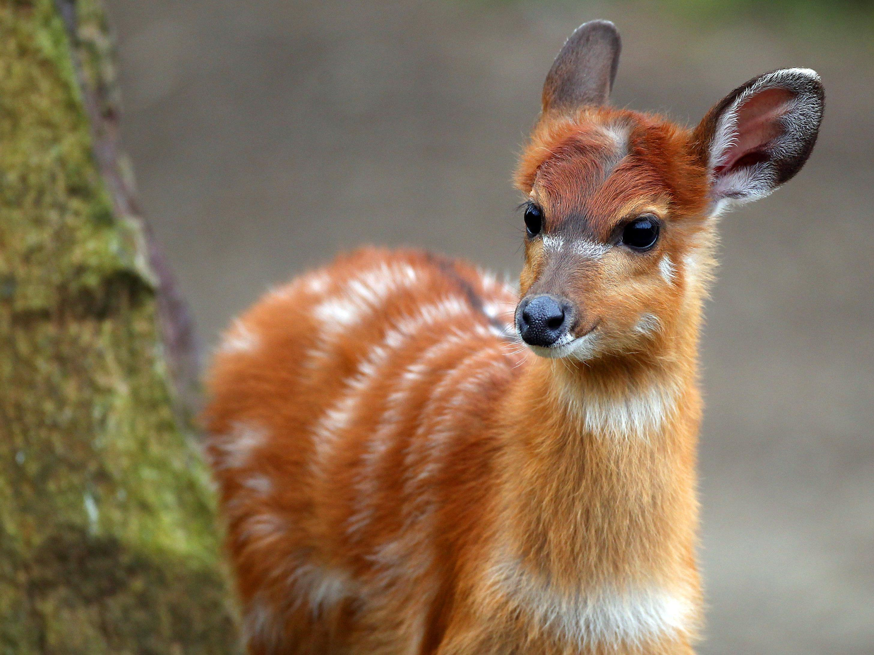 Sitatunga-Antilopen wegen fehlender Papiere eingeschläfert.