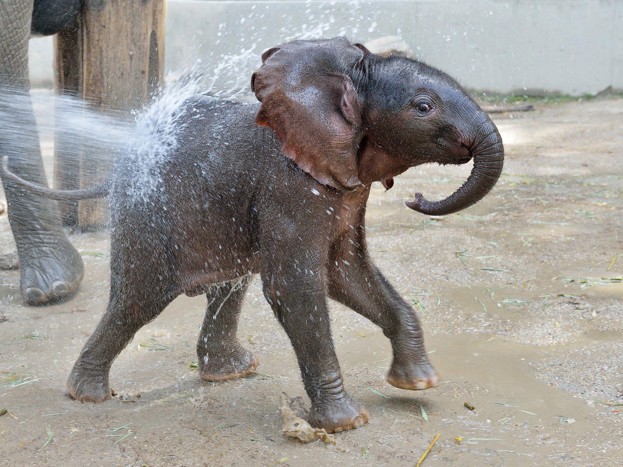Elefantendame Iqhwa feiert diese Woche seinen ersten Geburtstag.