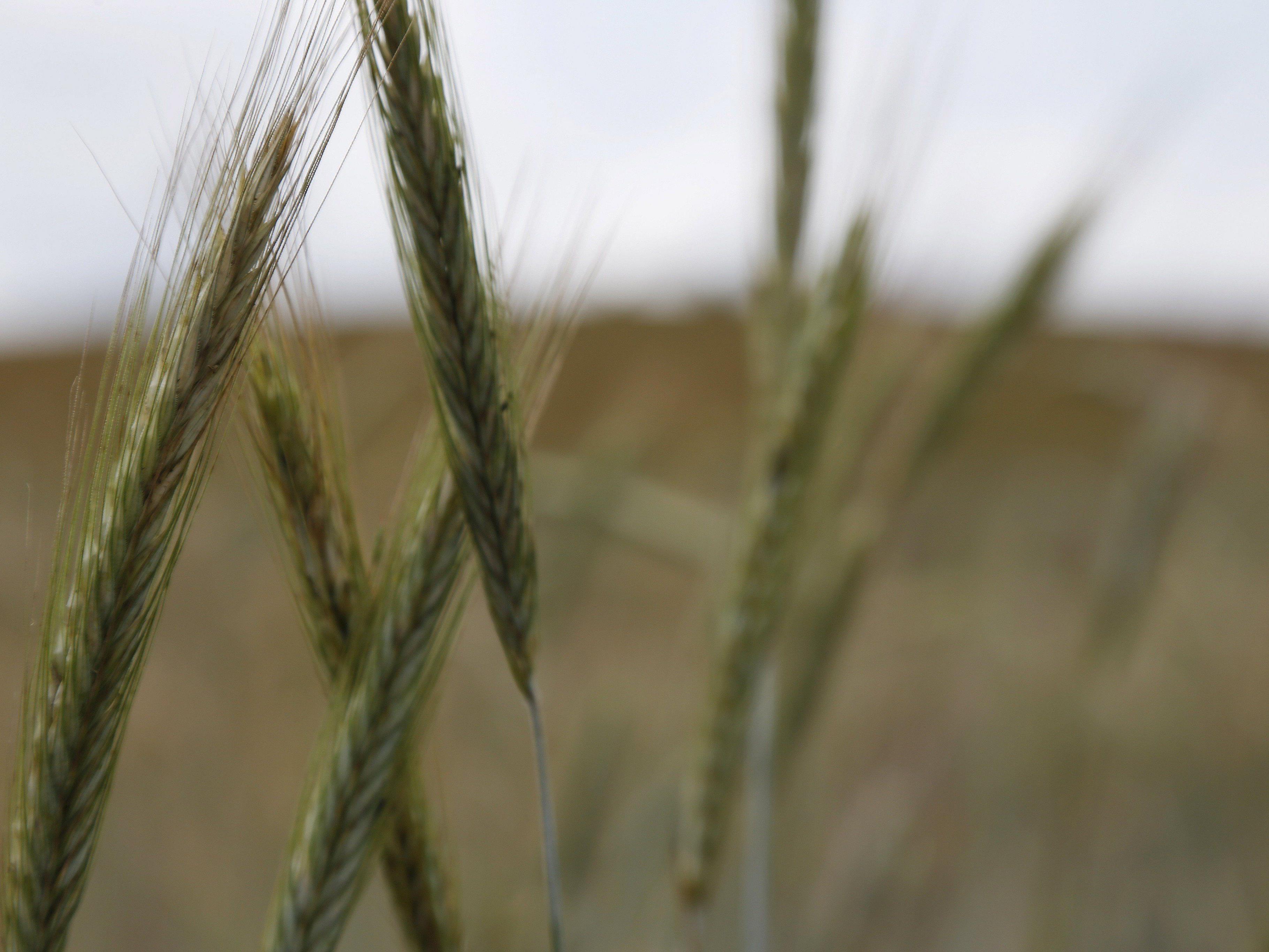 Tester stellten Pflanzenschutzmittel in heimischen Mehrkornweckerl fest.