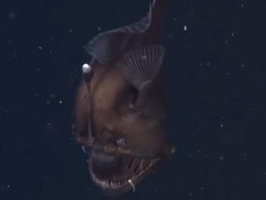 Aufnahme mit Seltenheitswert: Forscher bekommen Tiefseeteufel erstmals vor die Linse