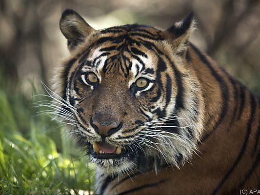 Medizin glaubte an Kraft der Tigerknochen