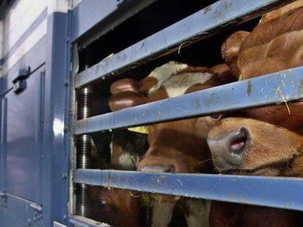 Tierschützer erstatten gegen ein Transportunternehmen Anzeige.