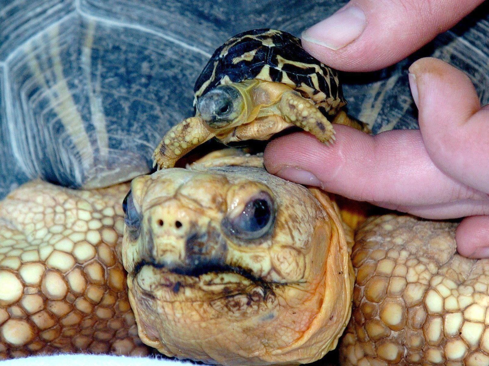 Strahlenschildkröten sind wegen ihres Panzers bei Sammlern sehr beliebt.