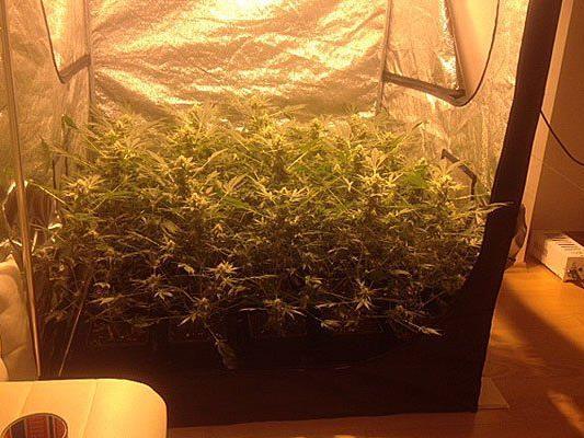 diese Cannabis-Plantage wurde gefunden