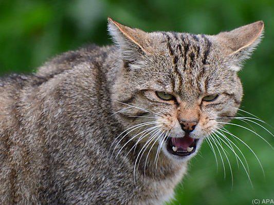 Gilt in Österreich als ausgestorben oder verschollen: Die Wildkatze.