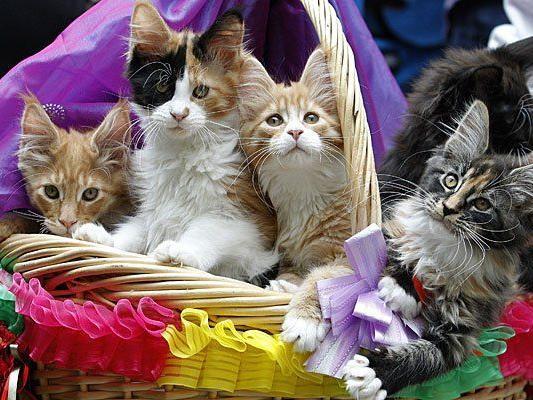 """Dürfen auf keiner Katzenausstellung fehlen: die """"sanften Riesen"""", Maine Coons"""