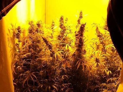 Bei einer Hausdurchsuchung stießen die Polizisten auf eine Cannabis-Plantage.