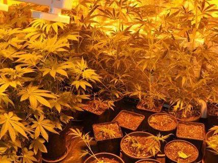 Wien – Simmering: Marihuanaplantage in Wohnung entdeckt