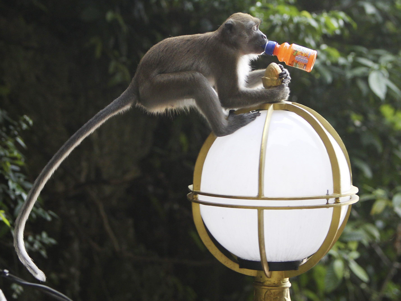 Für das kinderlose Paar ist der Affe wie ein Sohn.
