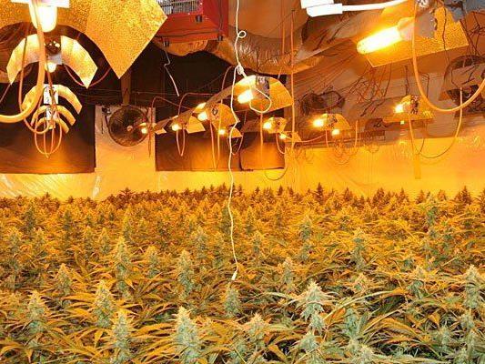 Diese riesengroße Cannabis-Plantage wurde entdeckt