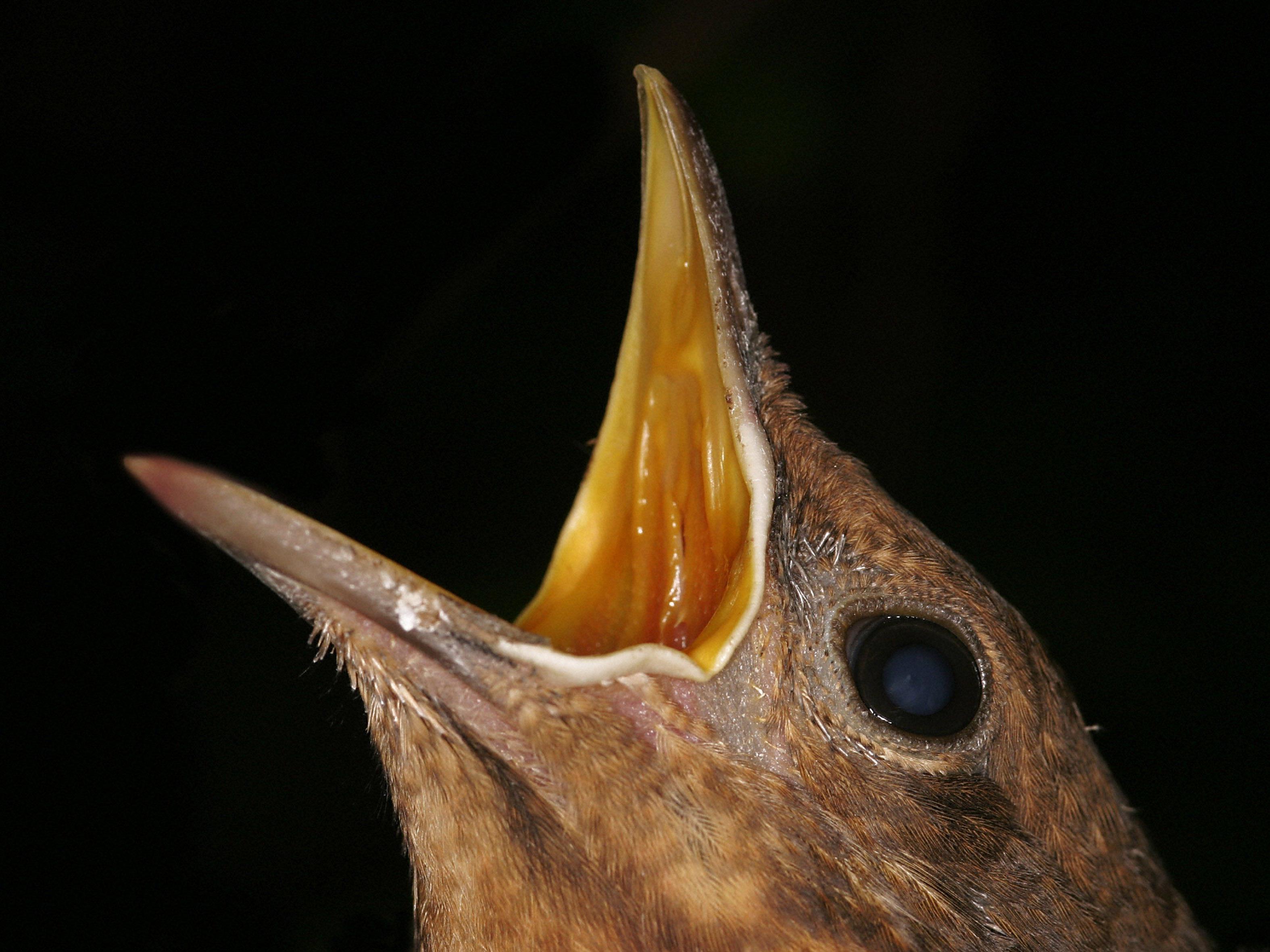 Ein kleiner Teil der heimischen Vogelpopulation stirbt regelmäßig an der Vogelmalaria.