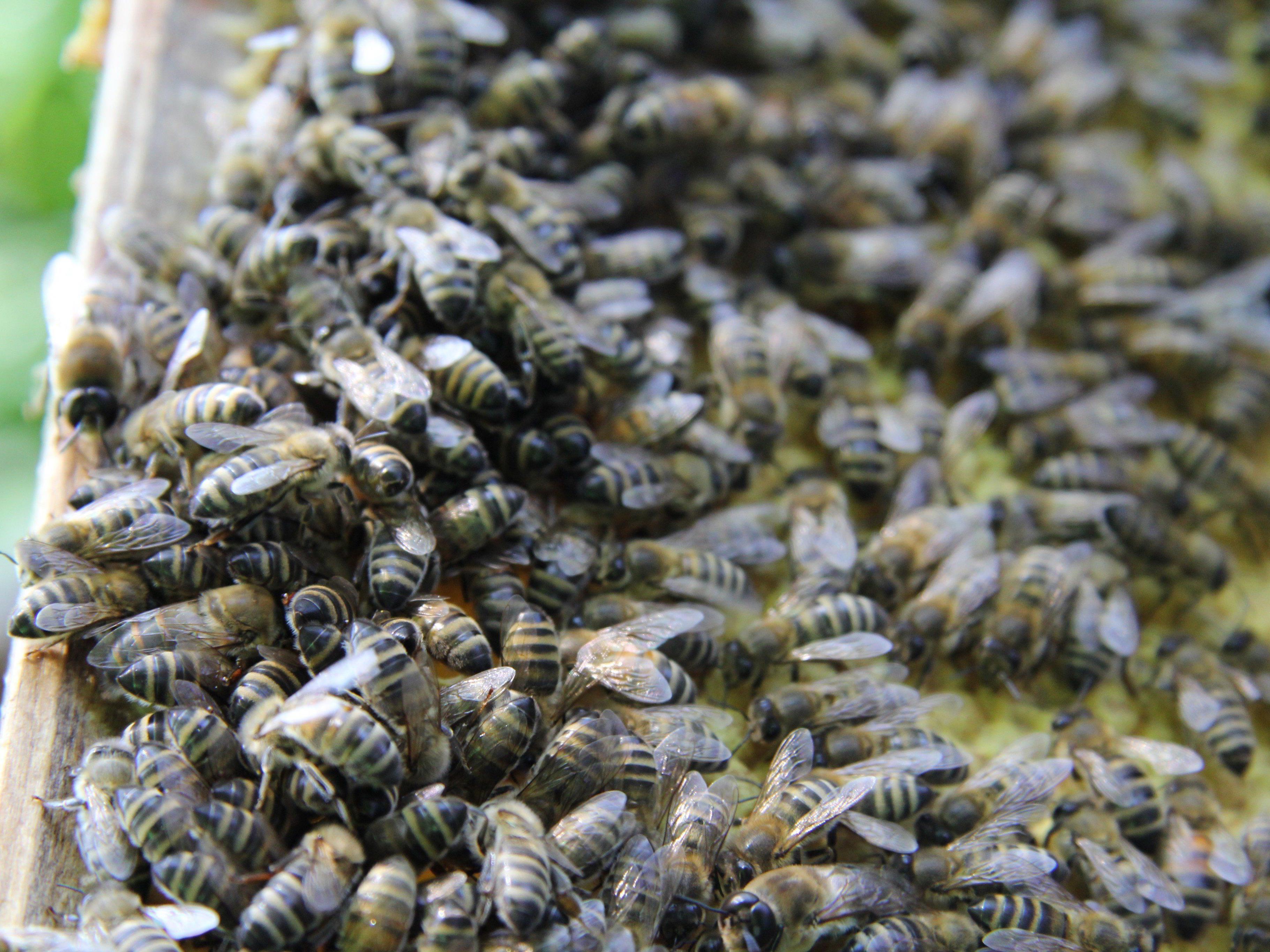 Die Täter kippten größere Mengen Dieselkraftstoff in sechs in einem Kleingarten aufgestellte Bienenstöcke.