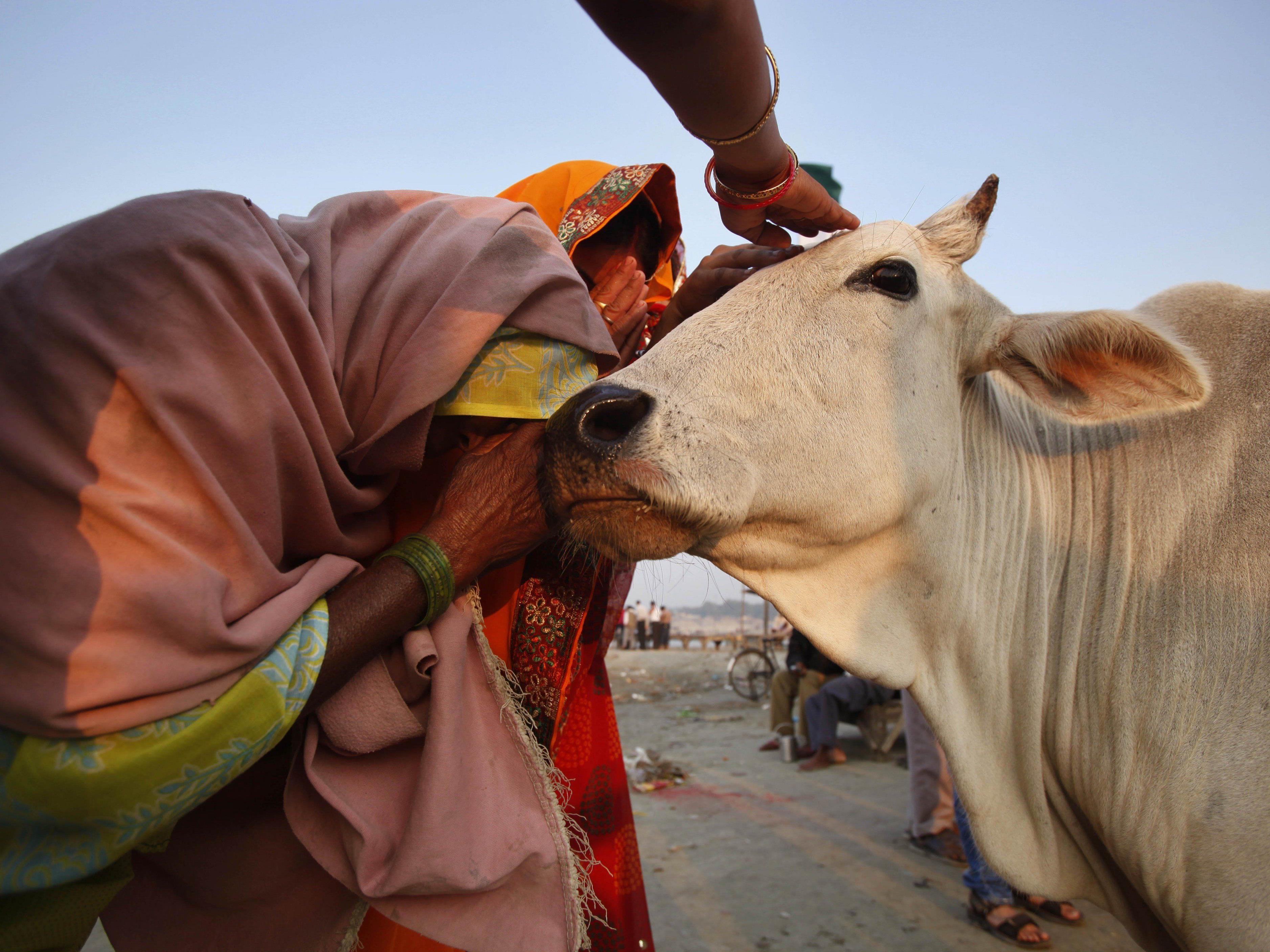 Für Hindus nimmt die Kuh einen ganz besonderen Stellenwert ein.