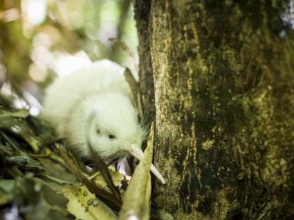 Tierische Sensation in Neuseeland: Zwei weiße Kiwi-Kücken geschlüpft.