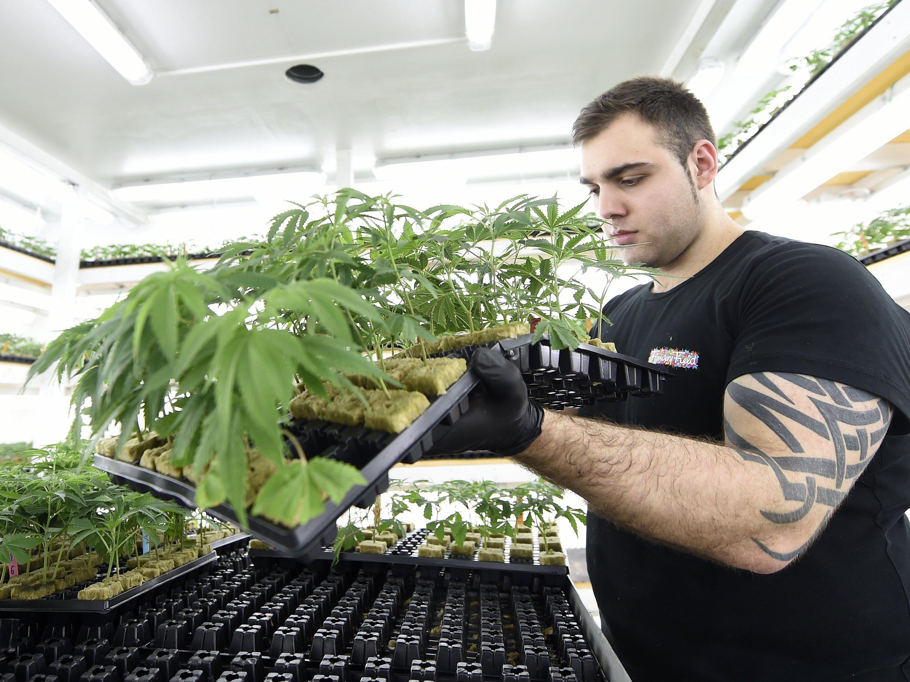 Grow-Geschäfte zwischen Zierpflanzenverkauf und Beitragstäterschaft.