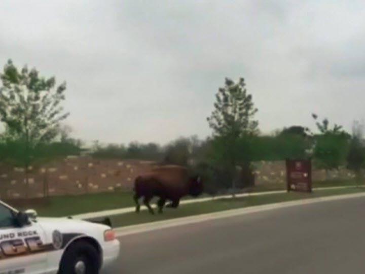 Die Polizei lies das Tier unter Beobachtung gewähren.