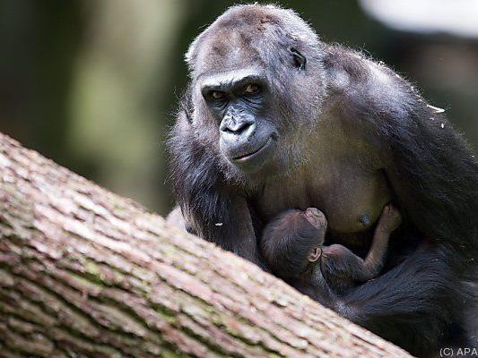 Gorilla-Dame Momo mit Nachwuchs