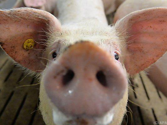 Schweinepest im Visier der EU
