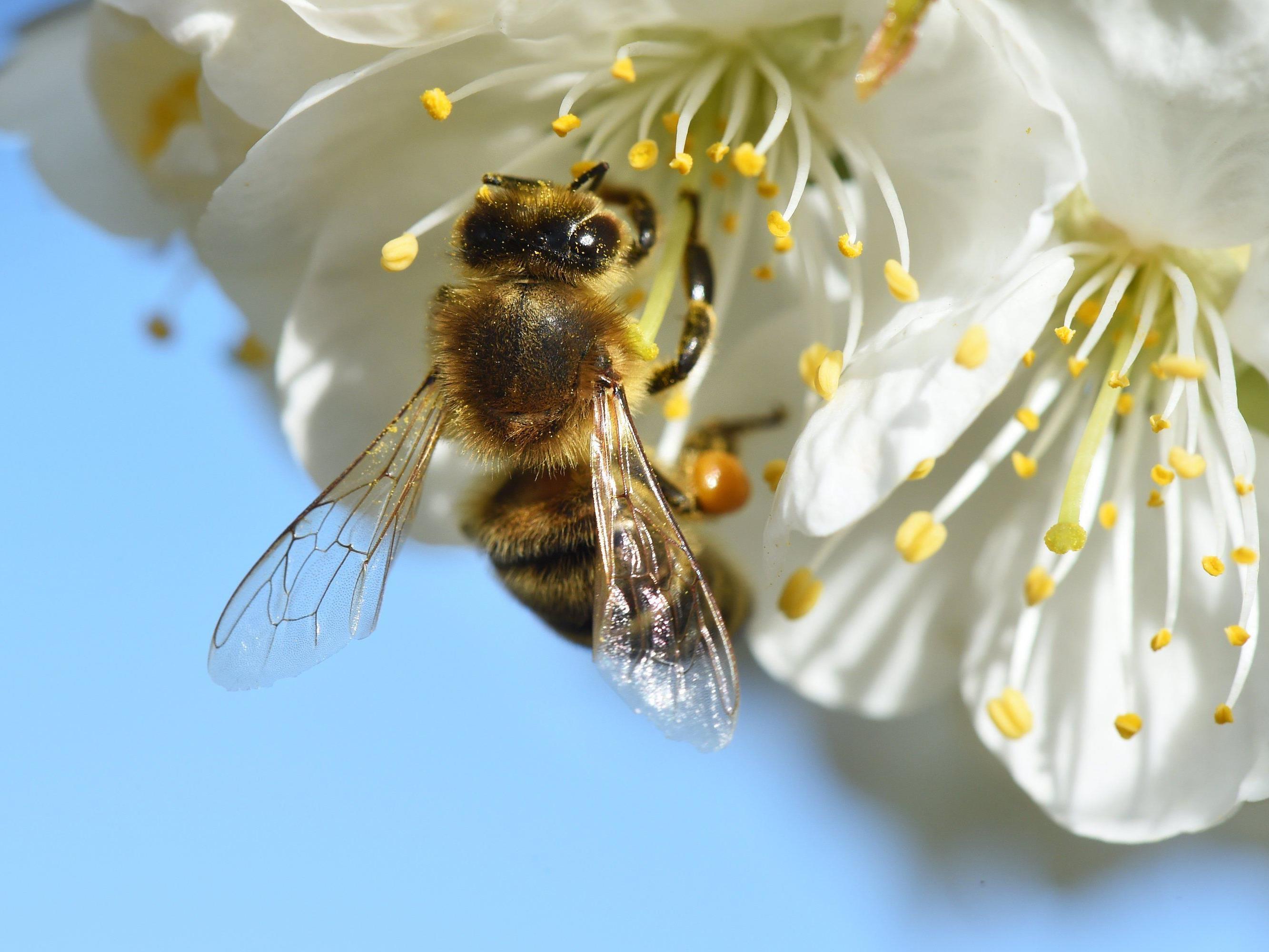 Arbeit wird nicht alleine von Honigbienen geleistet