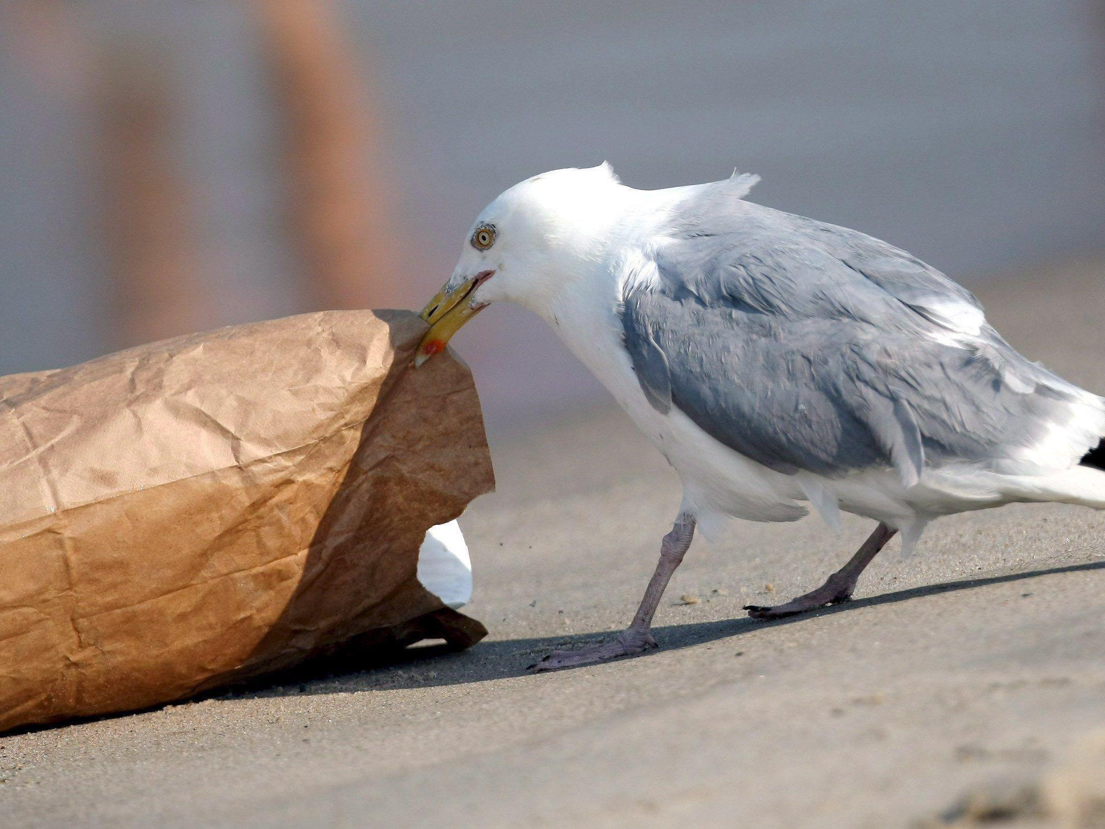 Imposant große Seevögel verbreiten mit ihrer Vorliebe für Fish and Chips und süße Hunde Angst und Schrecken.