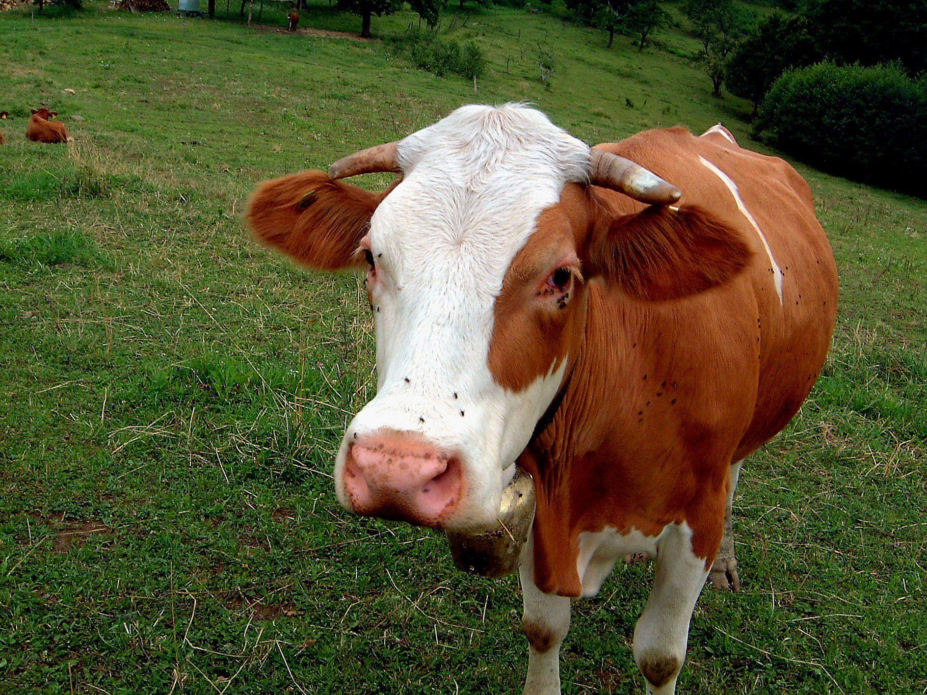 Holländerin will Kuhglocken in der Schweiz verbieten