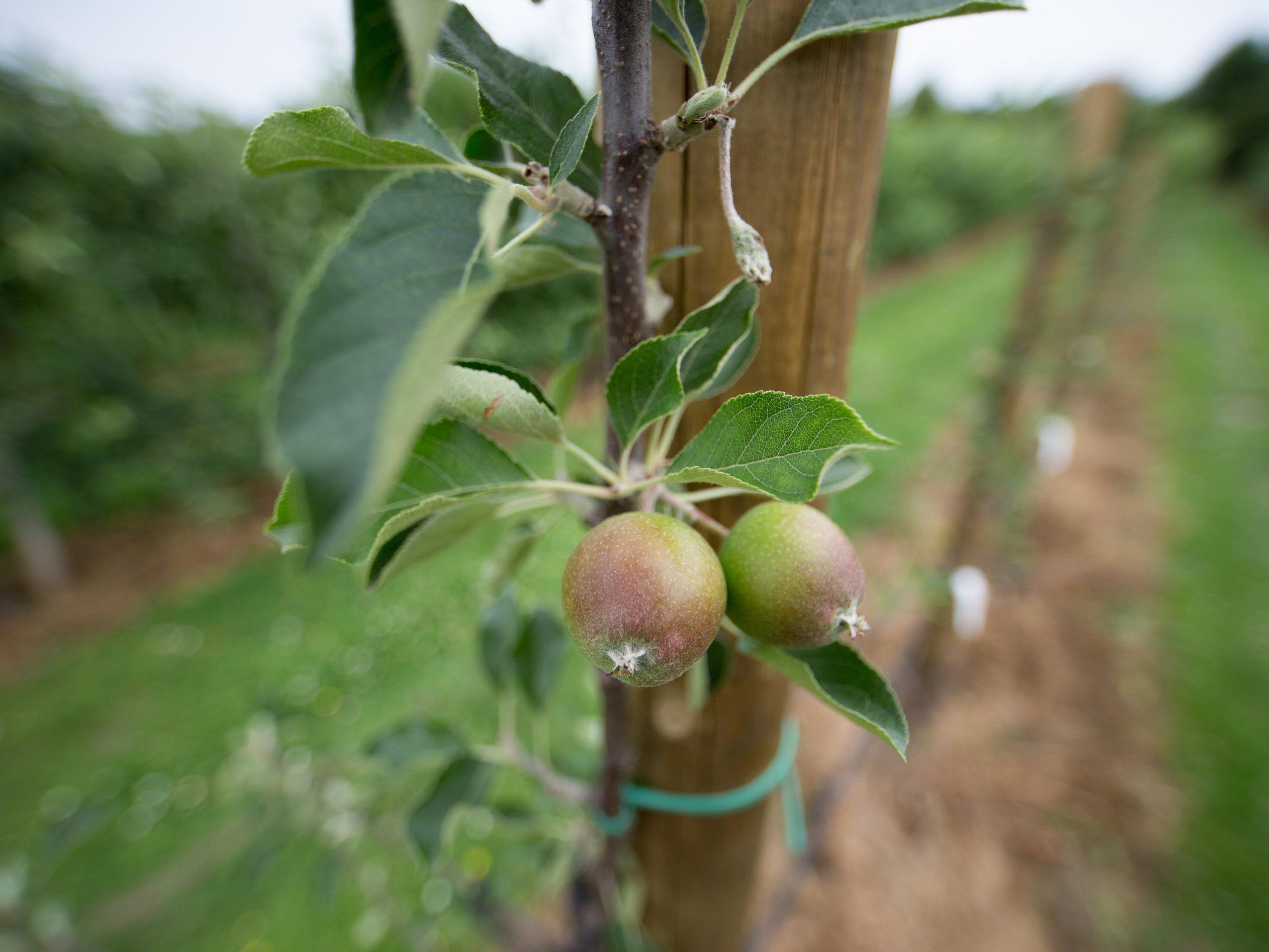 """""""Birpfel"""": Bis eine marktreife Frucht entsteht, wird es noch ein paar Jahre dauern."""