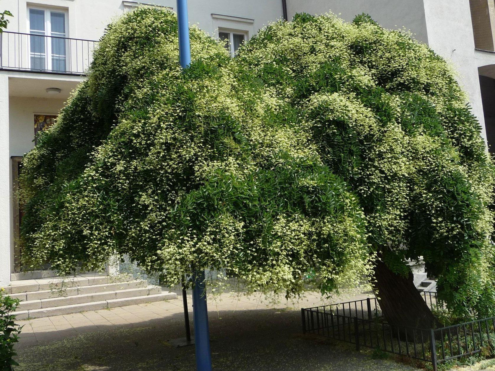 Ein Wiener Trauerschnurbaum in voller Blüte.