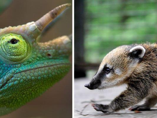 Was sich in Wiener Haushalten so alles tummelt, ist teils skurril - von Reptilien bis zum Nasenbär ist einiges vertreten