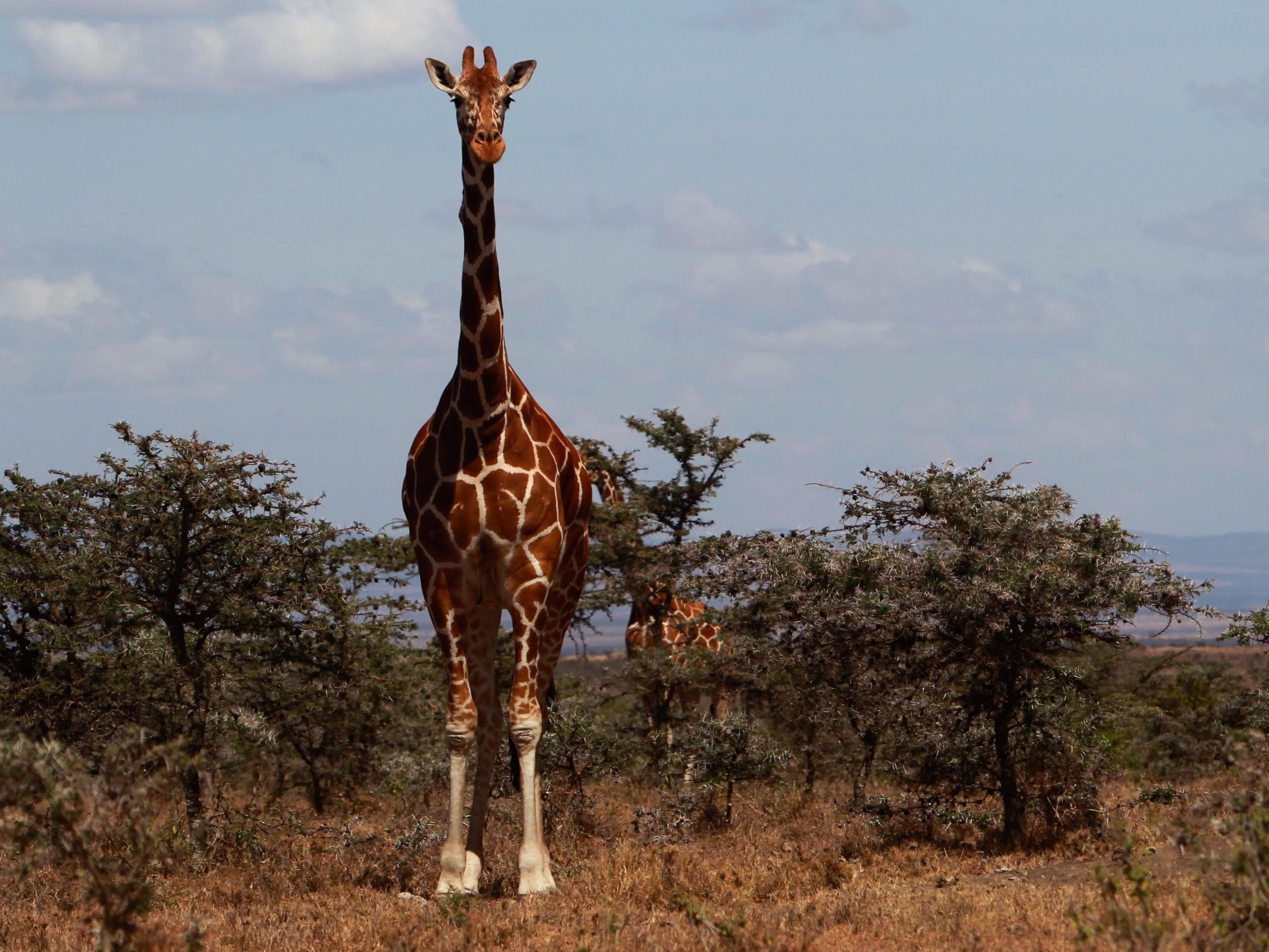 """Ihre jüngste """"Trophäe"""" eine alte Giraffe"""