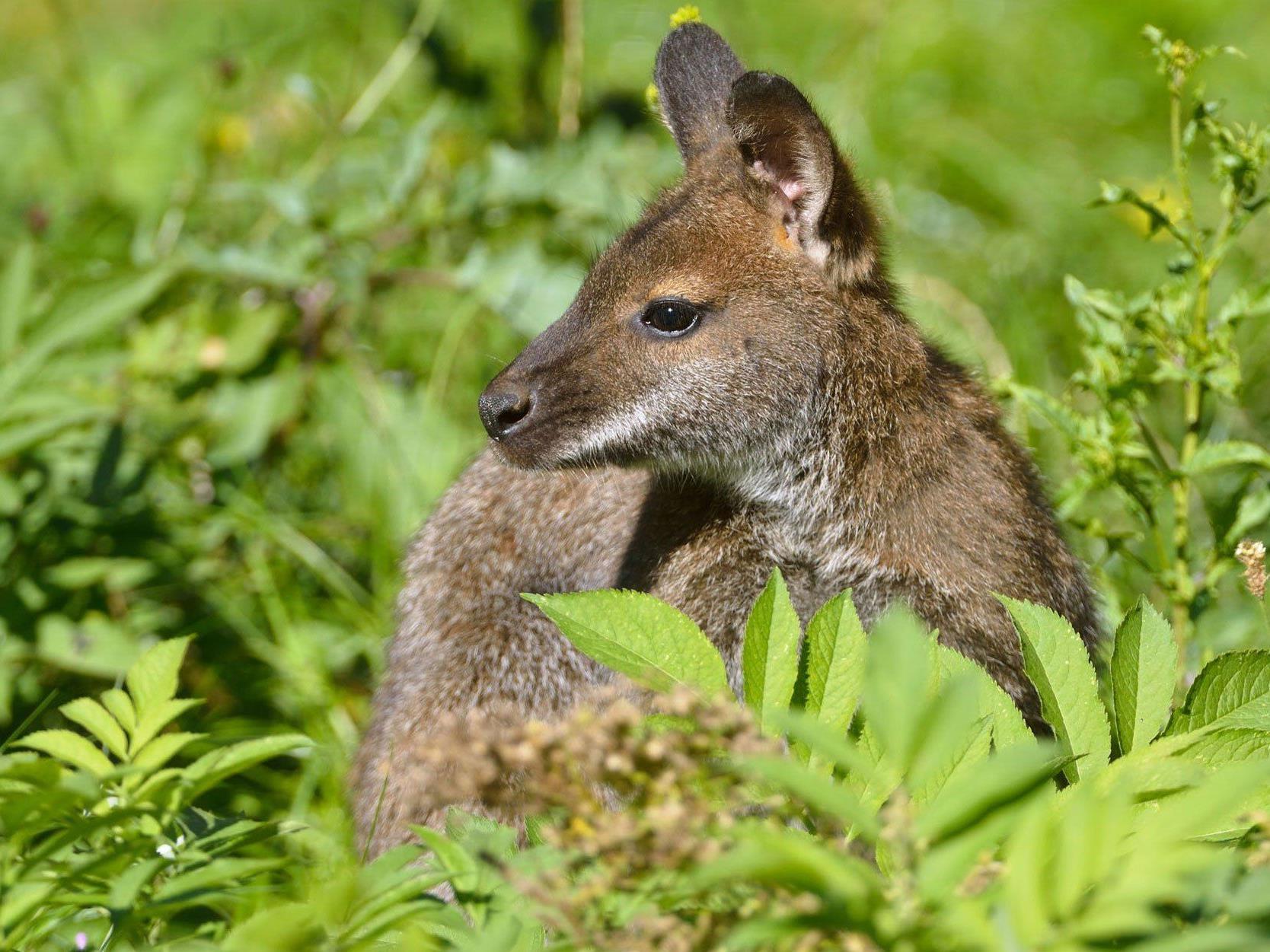 Ein Wiener entdeckte das Känguru im Mühlviertel.