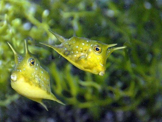 Herzig, tollpatschig, leuchtend gelb: die Kuhfische im Haus des Meeres
