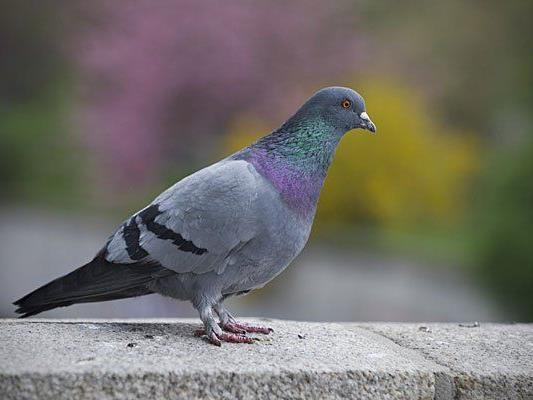 Ein Problem: Die Tauben am Parlament in Wien