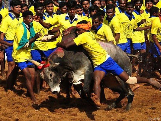 """Beim """"Jallikattu"""" werden die Stiere nicht getötet"""