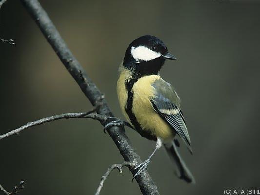 Wie in den Vorjahren zeigte sich die Kohlmeise als winterfitter Vogel