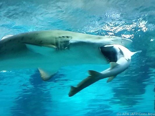 Der Sandtigerhai war etwa doppelt so groß wie seine Beute