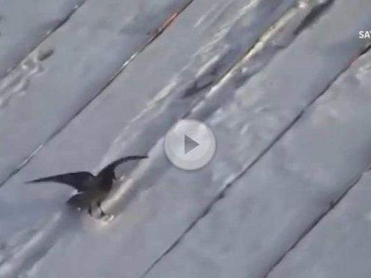 Diese Krähe ist ein Snowboard-Talent.