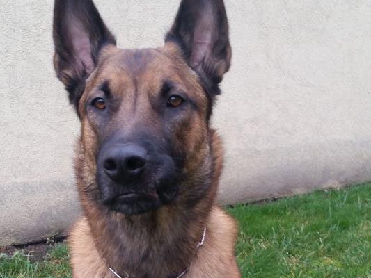 """Polizeihund """"Yoda"""" erschnüffelt Suchtmittel nach Deal am Praterstern"""