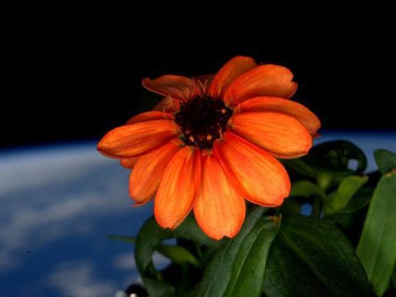 ISS-Astronauten lassen erste Blume im All erblühen.