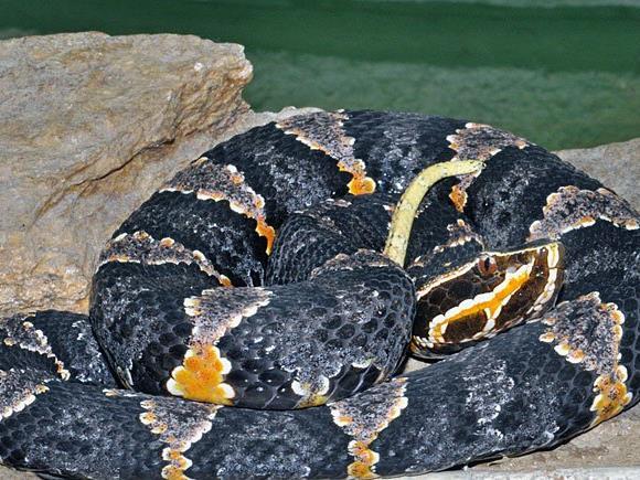 Neuzugang trickreicher Schlangen: Mexikanische Mokassin-Ottern im Haus des Meeres