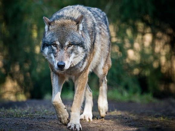 Ein Wolf hat im Waldviertel sehr wahrscheinlich vier Rehe gerissen