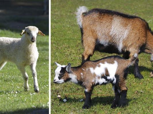 Streichelzoo mit Tieren vom Bauernhof in den Blumengärten Hirschstetten